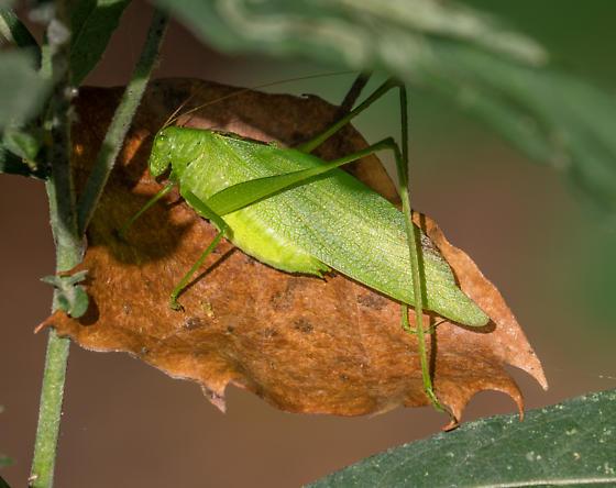Lesser Anglewing katydid (Microcentrum retinerve)? - Amblycorypha - male