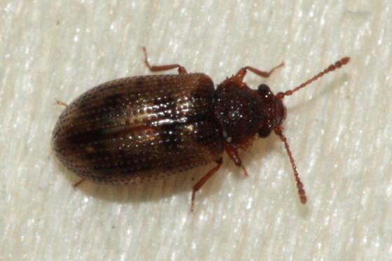Tooth-necked Fungus Beetle - Derodontus