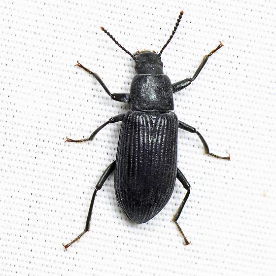 Xylopinus saperdioides? - Xylopinus saperdoides