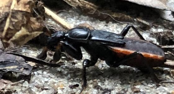 Unknown beetle - Melanolestes picipes
