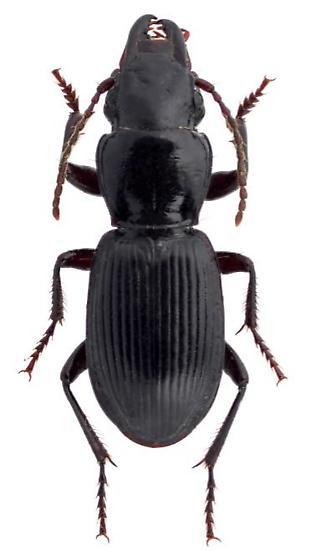 Pterostichus rostratus