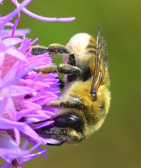 white leafcutter bee - Megachile fortis - female