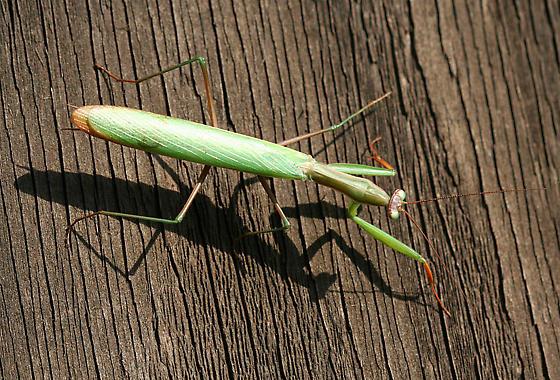 European Mantis Male - Mantis religiosa - male