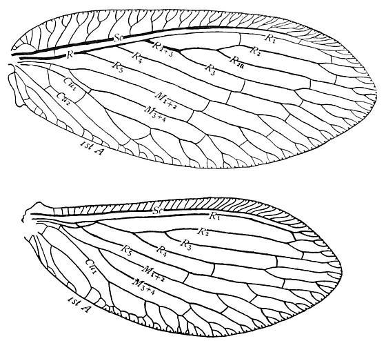 Wing venation of a Brown Lacewing - Hemerobius humulinus