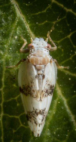 Psillid - Euglyptoneura robusta