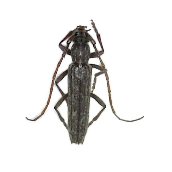 Oak Twig Pruner - Anelaphus parallelus