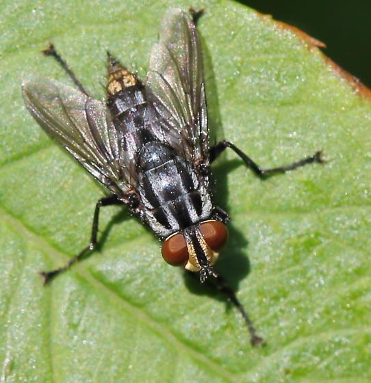 Macronychia aurata - female