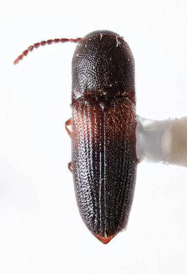Nice Eucnemid? - Rhagomicrus humeralis