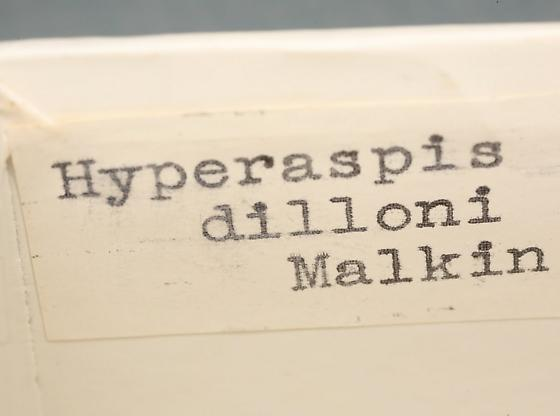 Hyperaspis signata (Olivier) - Hyperaspis signata - male