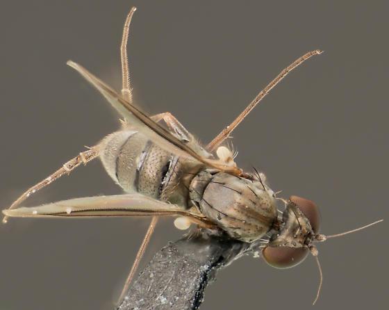 Fly in La Habra California - Medetera - male