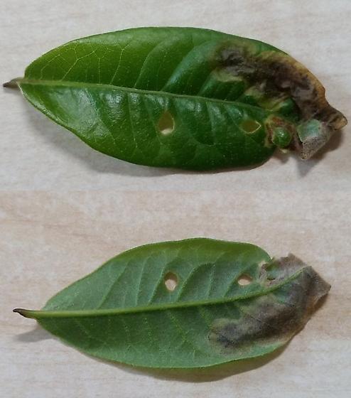 Leaf mine in shingle oak - Japanagromyza viridula