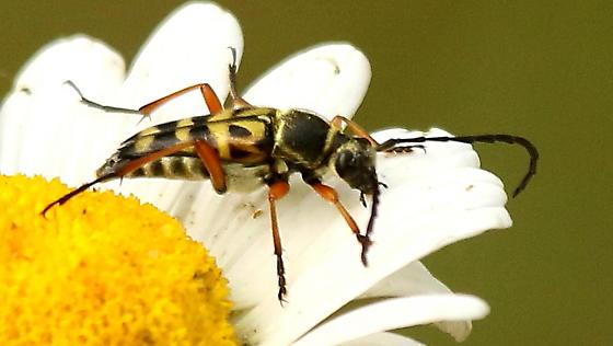 Flower longhorn beetle - Typocerus
