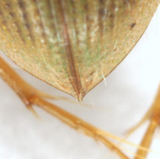Berosus aculeatus LeConte - Berosus aculeatus