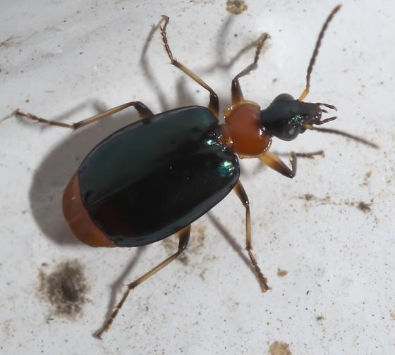 Black and red ground beetle - Lebia viridipennis