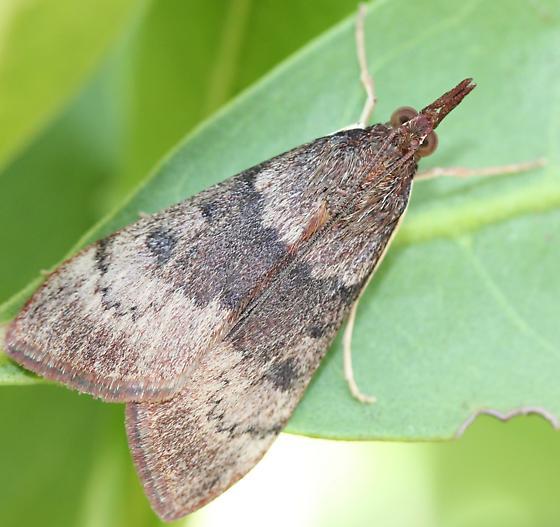 Moth - Uresiphita reversalis