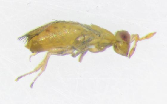Trichogrammatidae, lateral