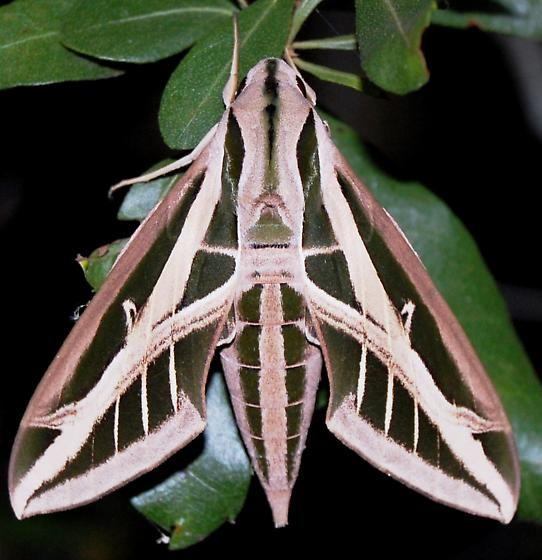 Sphinx Moth - Eumorpha fasciatus