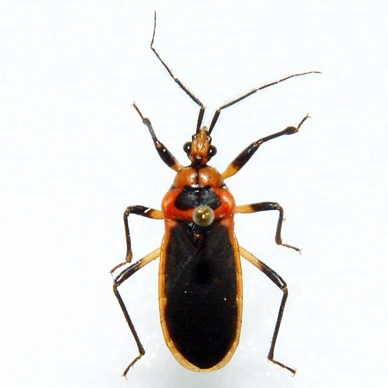 Seed Bug or Plant Bug?  How do you differentiate? - Rhiginia cruciata