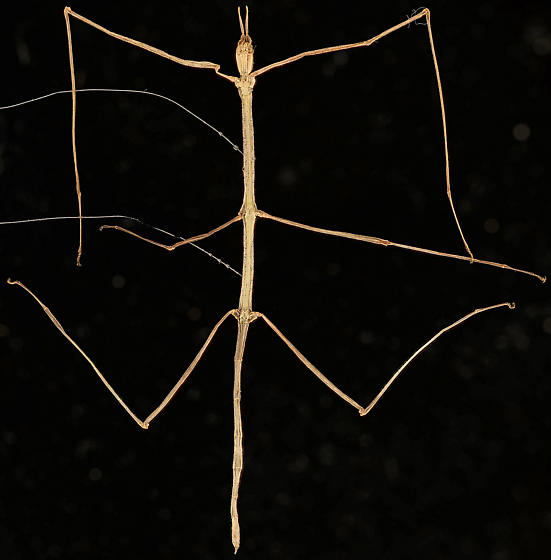 Walkingstick, ventral - Parabacillus hesperus - female