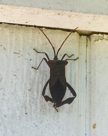 Unknown type of coreidae