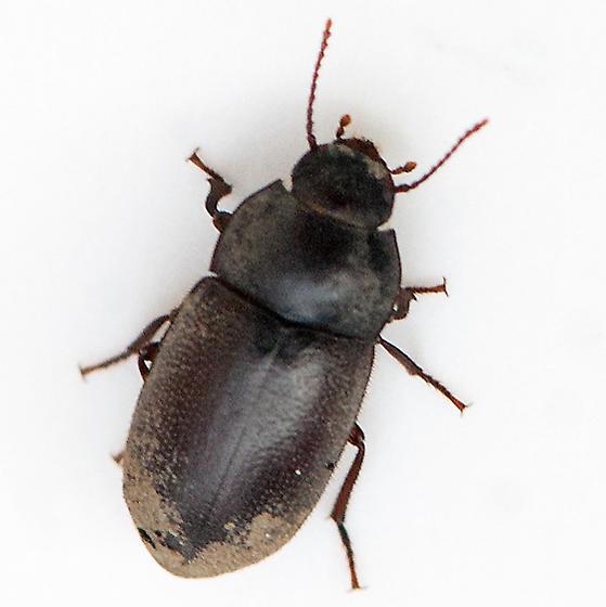 Beetle under bark of a burned toyon - Metoponium