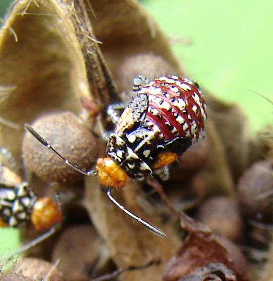 Plant Bug Nymph - Niesthrea louisianica