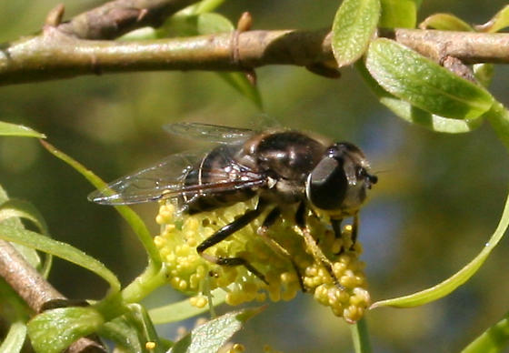 Pollinating Fly ID Request - Eristalis dimidiata