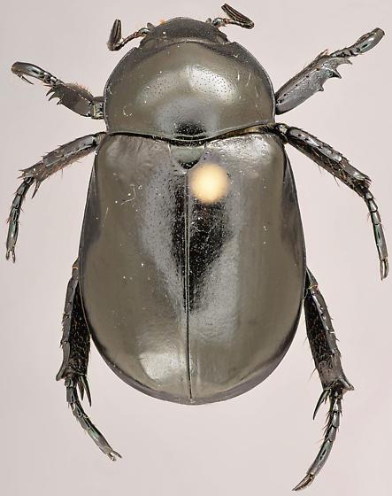 Beetle, dorsal - Pelidnota lugubris