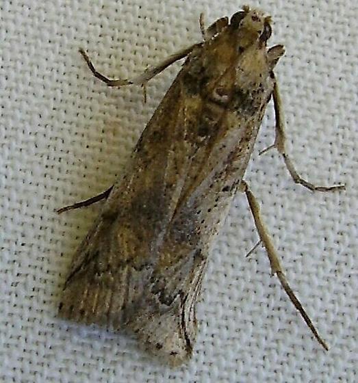 5970.99 - Cactus Moth - Cactoblastis cactorum - female