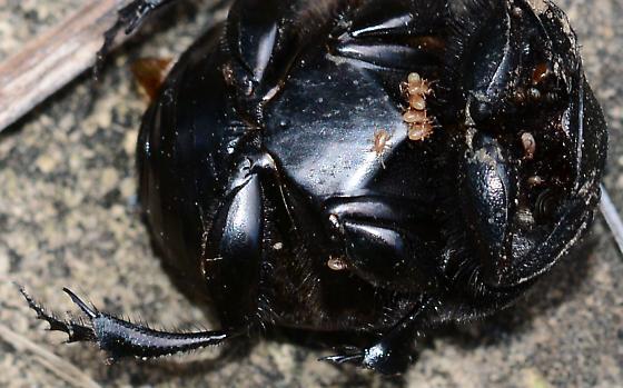 Big Beetle - Phanaeus triangularis