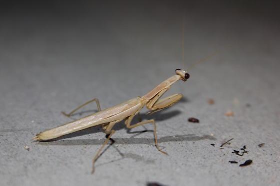 Desert Mantis - Iris oratoria - male