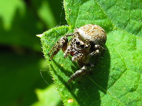 Jumping Spider - Evarcha