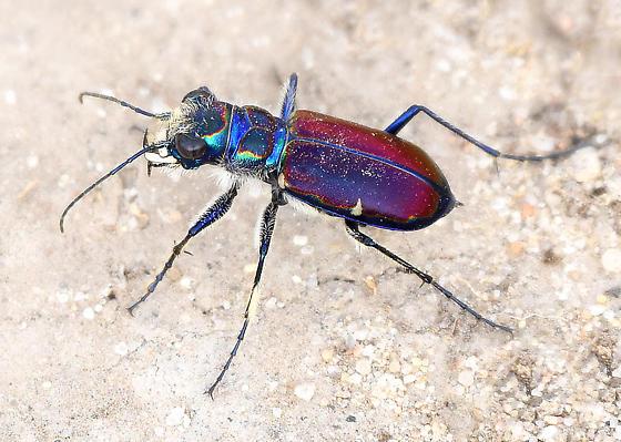 Beautiful Tiger Beetle - Cicindela pulchra