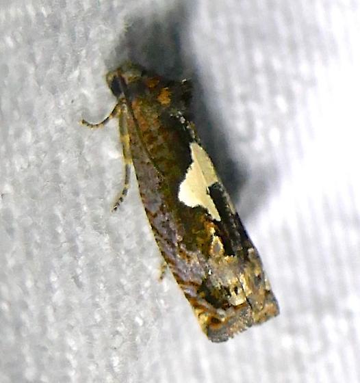 very small moth - Epiblema otiosana