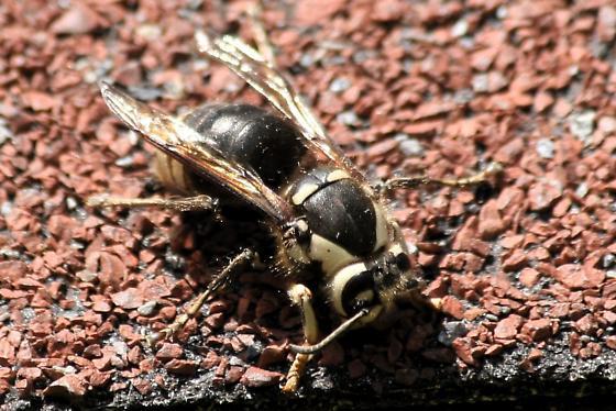 Dead Hornet - Dolichovespula maculata