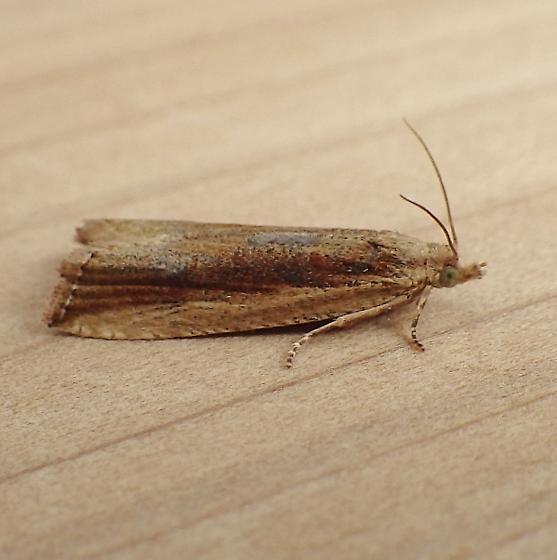 Tortricidae: Bactra maiorina - Bactra maiorina