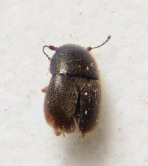 Very minute beetle...