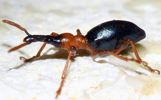 Please help to identify.  Thanks! - Cylas formicarius