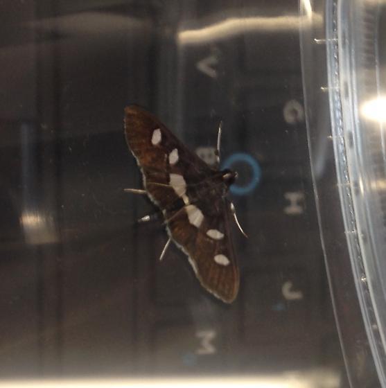 Desmia funeralis or maculalis - Desmia maculalis - male