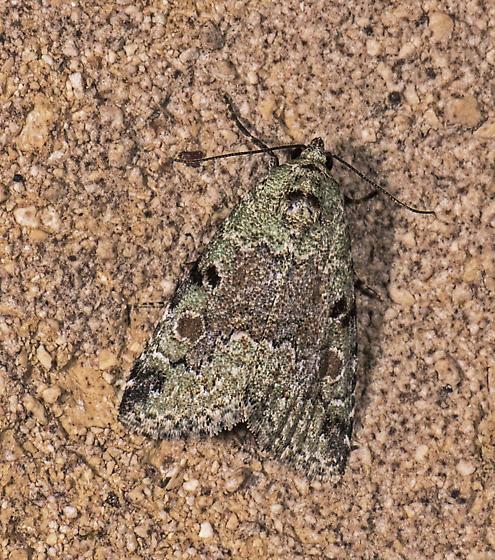 unknown moth, maybe an arch - Maliattha concinnimacula