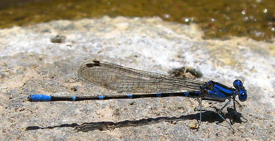 Damselfly - Argia sedula - male