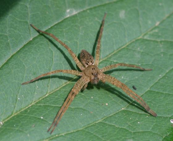 spider - Dolomedes vittatus