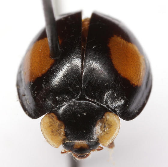 Harmonia axyridis (Pallas) - Harmonia axyridis