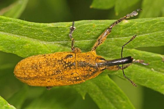 Golden Weevil - Lixus concavus? - Lixus concavus