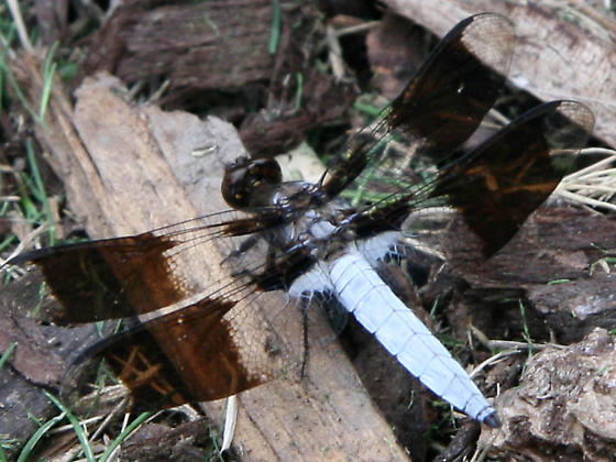 Four winged white body flying insect that looks like a dragon fly? - Plathemis lydia - male