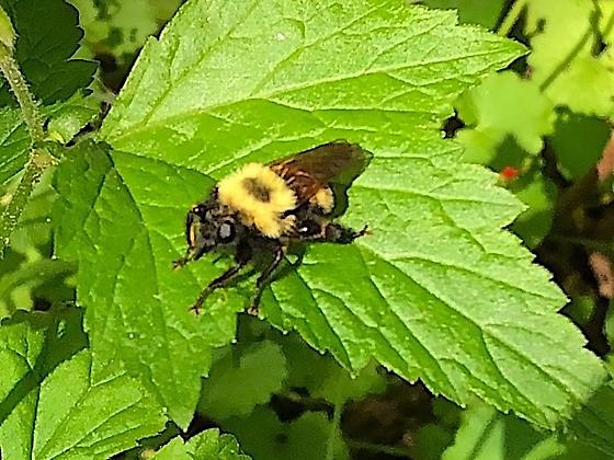 Other Robber Fly - Laphria thoracica