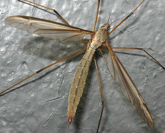 Crane Fly - Tipula oleracea