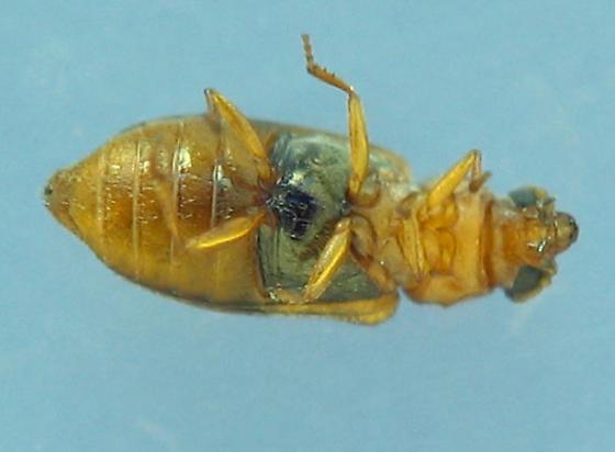 Family unknown - Scuromanius facetus