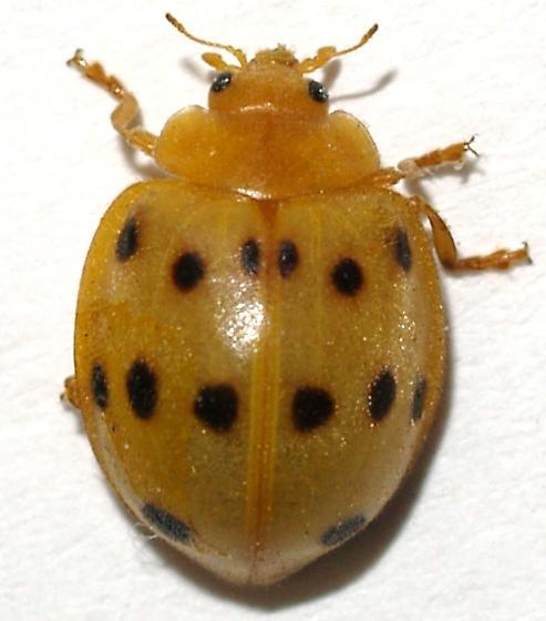 Mexican Bean Beetle - Epilachna tredecimnotata