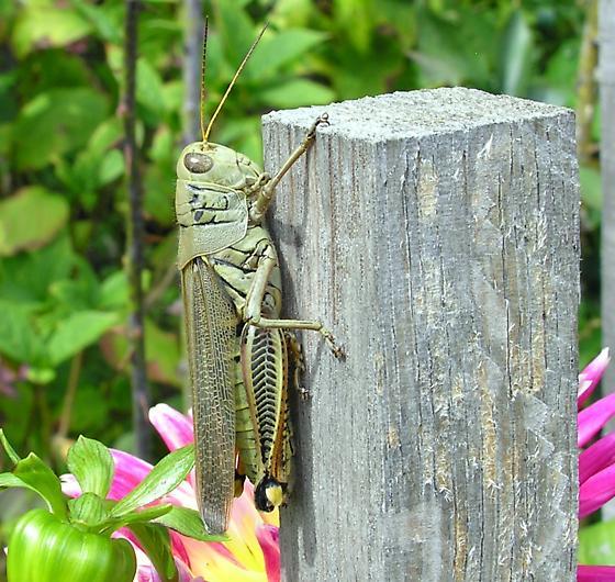 Newport Grasshopper - Melanoplus differentialis - female